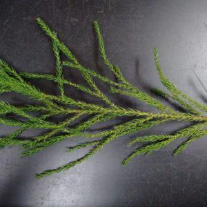 杉の葉茶作りWS